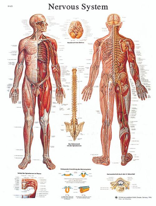 Anatomical Chart - nervous system chart, laminated