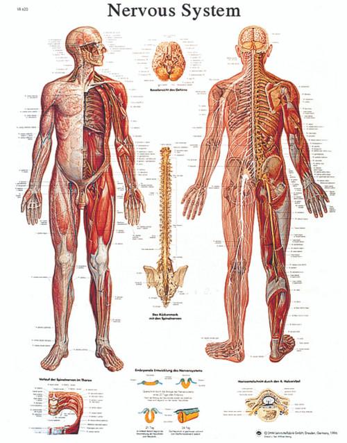 Anatomical Chart - nervous system chart, sticky back