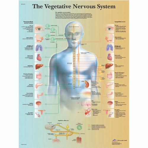Anatomical Chart - vegetative nervous system, laminated