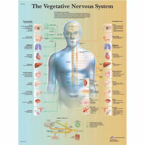 Anatomical Chart - vegetative nervous system, paper
