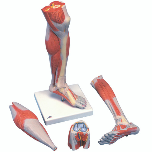 Anatomical Model - Lower Muscle Leg with detachable Knee, 3 part, Life Size