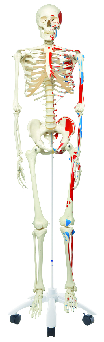 anatomical-models.jpg