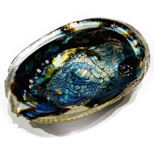 Natural Abalone shell half.