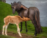 "Icelandice Mare and Foal by Bonnie Block 20"" x 16"""