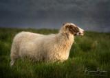 "Icelandic Ewe by Bonnie Block 14"" x 10"""