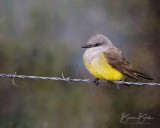 "Western Kingbird by Bonnie Block 10"" x 8"""