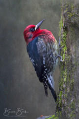 "Red Breasted Sapsucker by Bonnie Block 12"" x 8"""