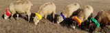 Sheep Marking Collars / Multicolor Training Pack of 5