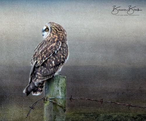 "Short-Eared Owl by Bonnie Block 12"" x 10"""