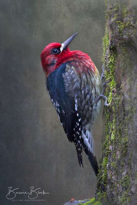 """Red Breasted Sapsucker by Bonnie Block 12"""" x 8"""""""