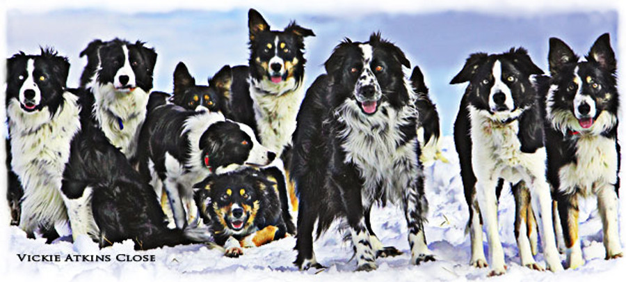 """Snow Dogs"" Greeting Cards By Vickie Close"