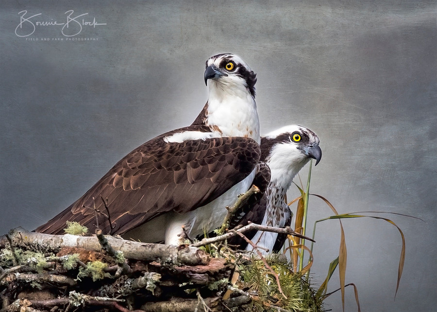 "Perfect Pair - Osprey by Bonnie Block 14"" x 10"""