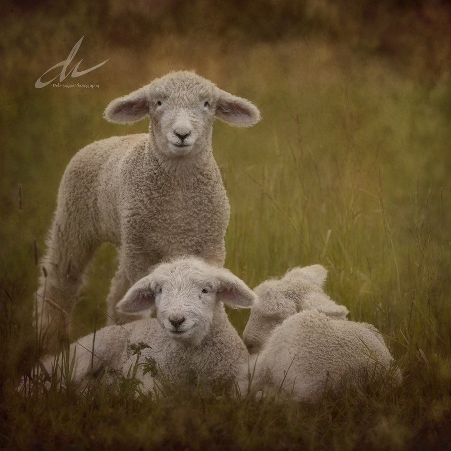 """Miriam's Lambs"" by Deb Hodges"