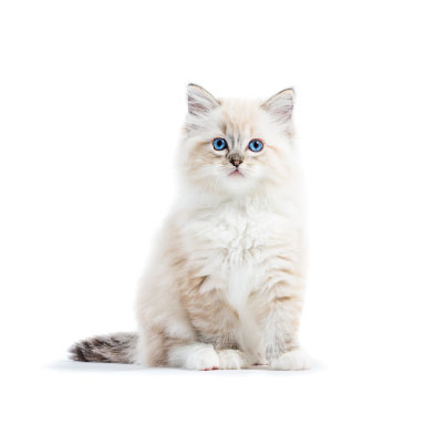Sitting Ragdoll kitten with blue eyes, pointy ears and white fur.