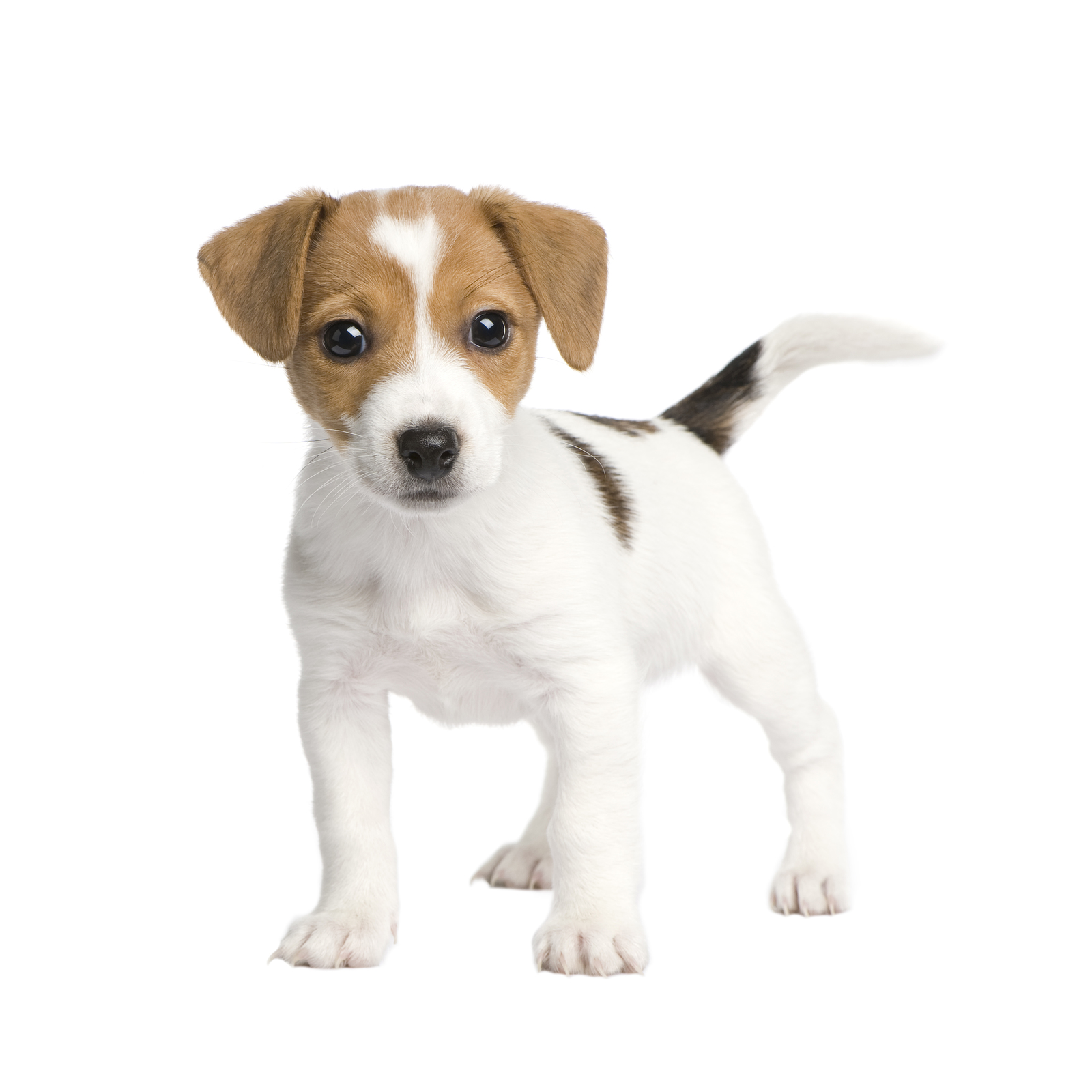 White Jack Russell puppy standing on its fours.