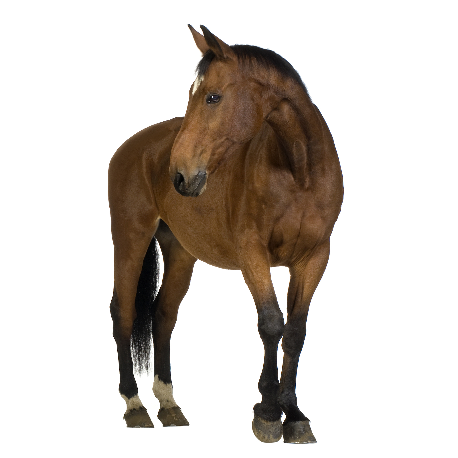 Brown horse with black mane and tail standing on its fours.