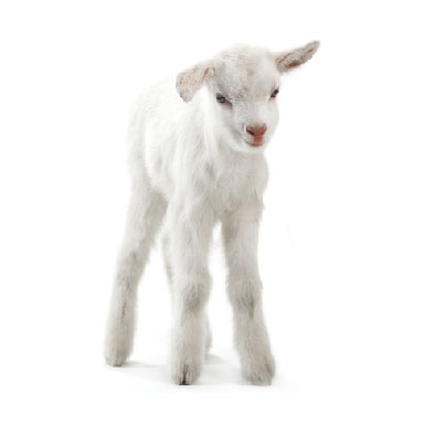 Young white goat standing on its fours.