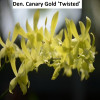 Den. Canary Gold 'Twisted' - flowering size
