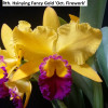 Rth. Hsinying Fancy Gold 'Oct. Firework'  - 50mm