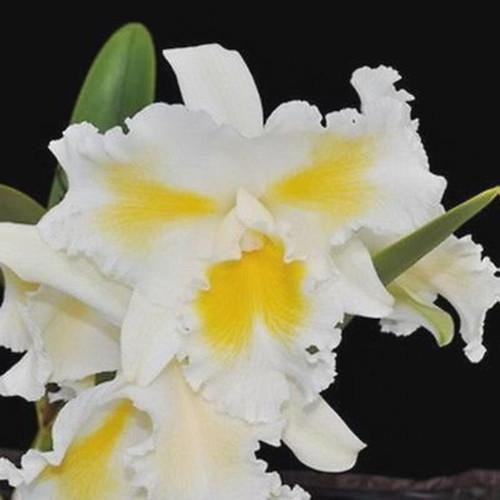 Rlc. Island Charm 'Blumen Insel' - 50mm