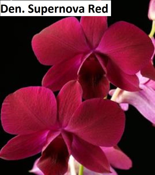 Den. Supernova Red - 50mm