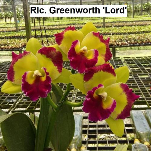 Rlc. Greenworth 'Lord' - 50mm