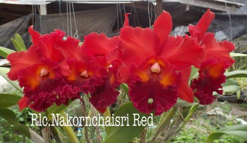 Rlc. Nakornchaisri Red - 50mm