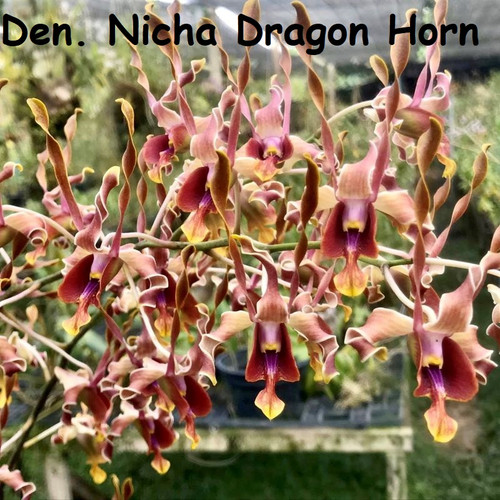 Den. Nicha Dragon Horn - 50mm