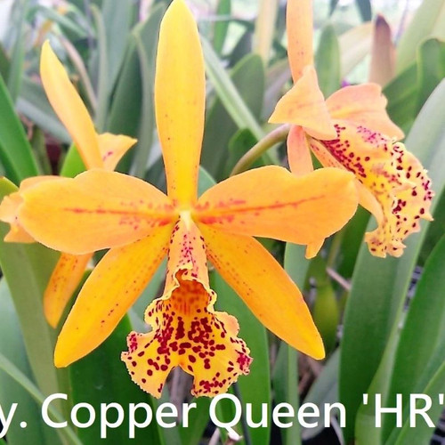 Rby. Copper Queen 'H&R' - 50mm