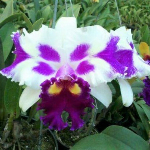 C. NSA Big China x Rlc. Kuwale Gem '4 Point' - 50mm