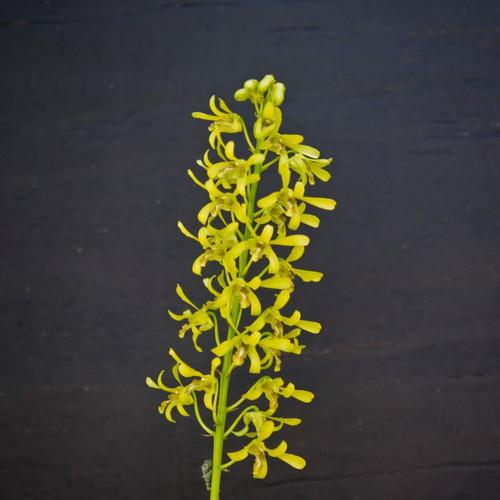 Den. sylvanum f. flavum x helix (Green/Gold) - 50mm