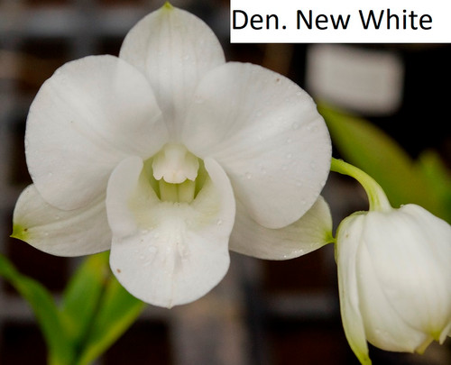 Den. New White - flowering size