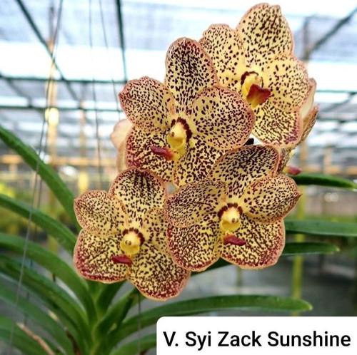 Vanda Syizack Sunshine - 50mm