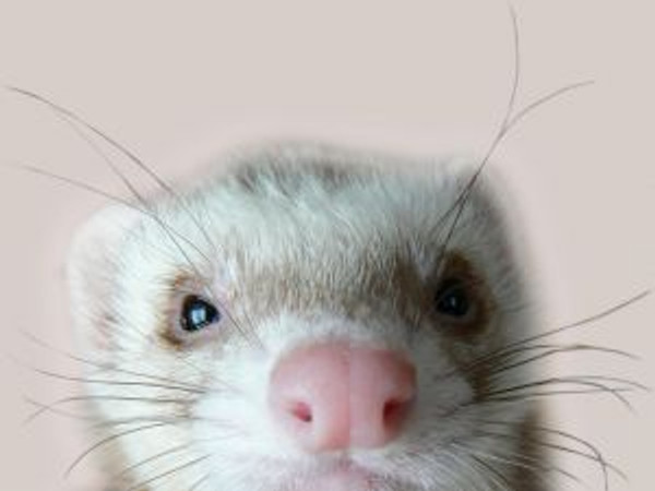 Quick Duck Soup for Ferrets