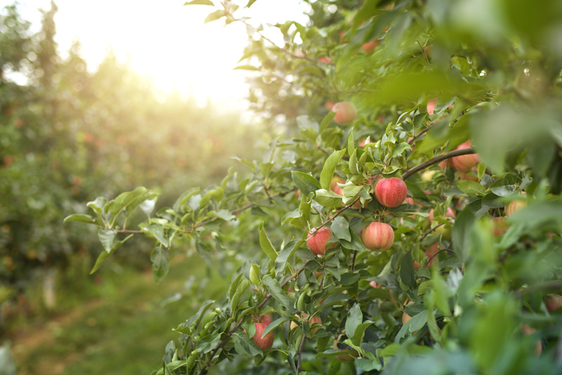 https://cdn11.bigcommerce.com/s-mzufg65qhz/product_images/uploaded_images/apple-orchard-at-sunset.jpg