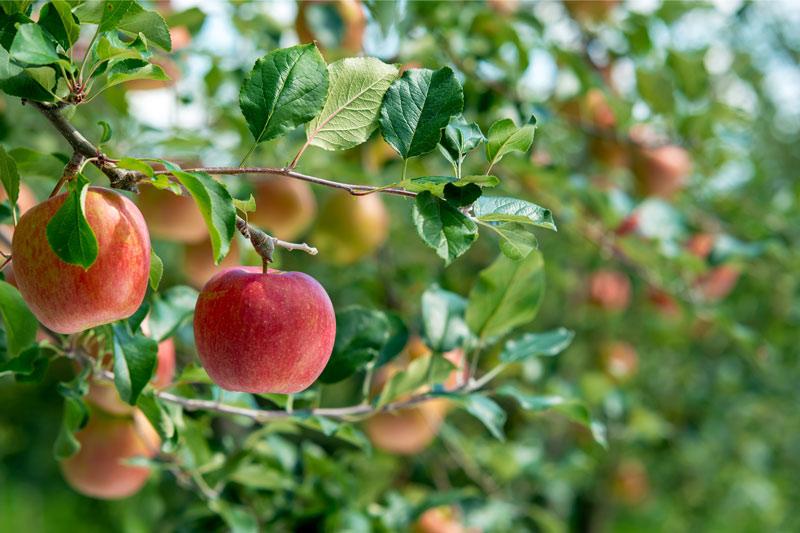 フレッシュさがみてわかる 、みずみずしいりんご。