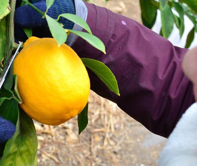 中川村のハウスでメイヤーレモンの収穫。