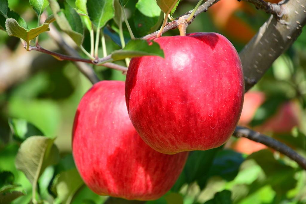 収穫直前の真っ赤なりんご