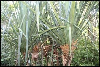Habitat and Vegetation - Pandanus Rabaiensis.