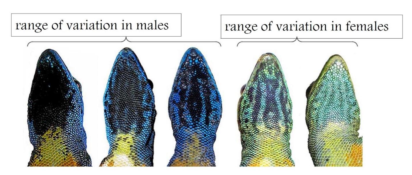 Lygodactylus williamsi Species Description.