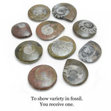 Polished Goniatite Fossil
