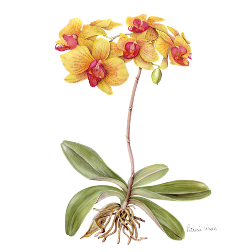 Floral Greeting Card , Moth Orchid Flower , Blank Inside , Watercolour Art , Botanical Card to Frame ,