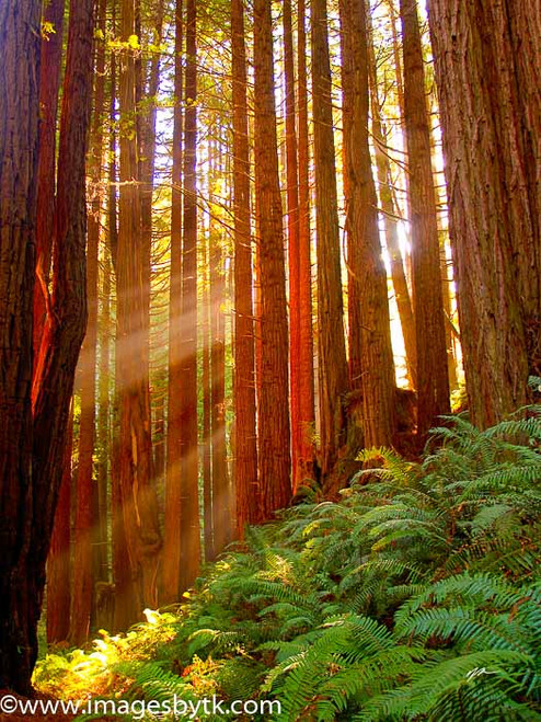 Redwood Sunlight - California Fine Art Photograhy for Sale