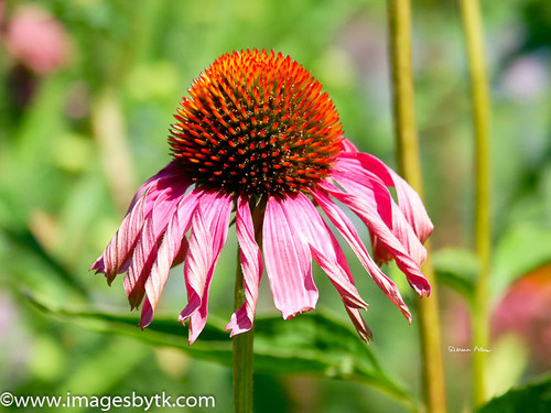 Purple Cone Flower Fine Art Photograhy for Sale