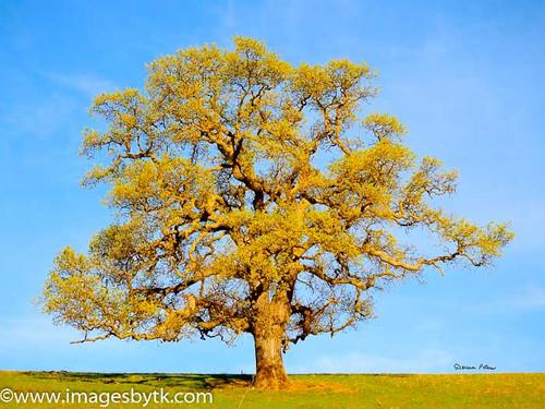 Spring Oak Tree In Bloom - California