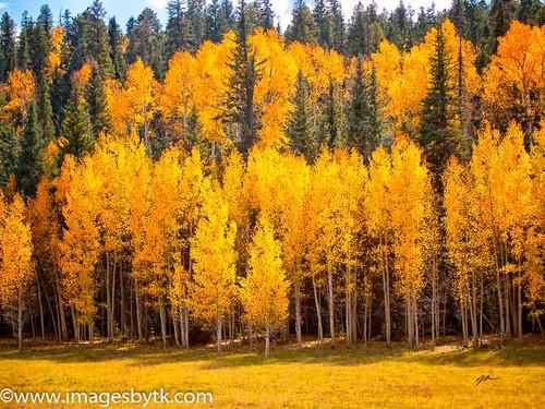 Back Lighting Aspen Trees - Arizona