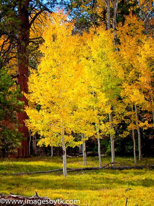 Golden Aspen Trees - Arizona Fine Art Photograhy for Sale