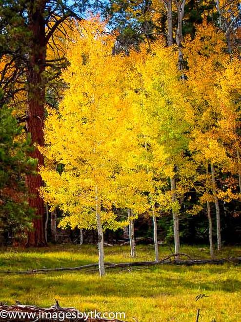 Golden Aspen Trees - Arizona
