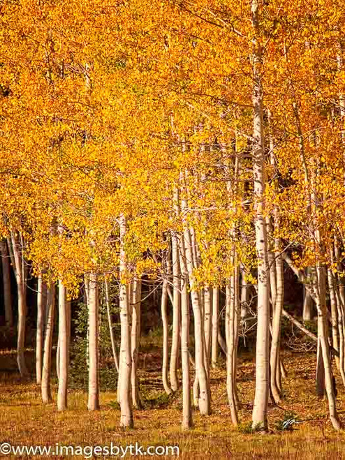 Aspen Trees - Arizona Fine Art Photograhy for Sale