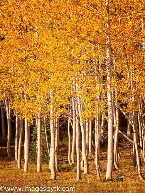 Aspen Trees - Arizona